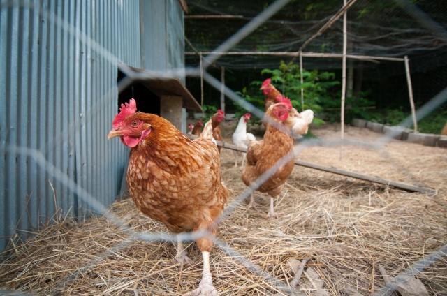 chicken, organic, farm, jeff poppen